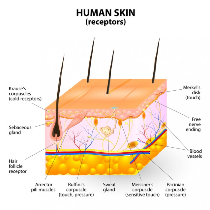 human skin layer vector cross section