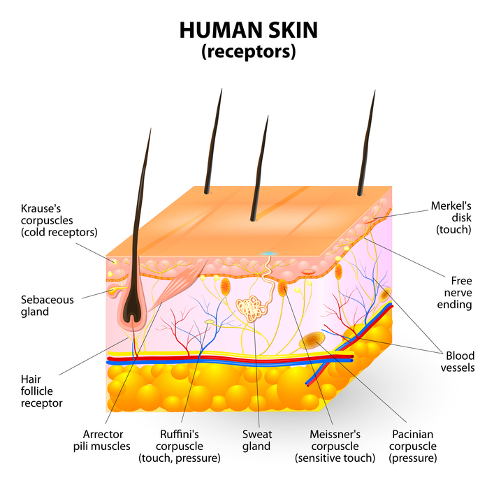 Neurodermatology Neuron Experts Human skin receptors ...